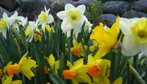 daffodils675