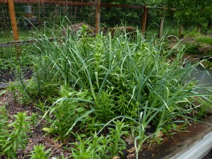 06-05-10_garlic670