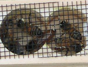 queen-bee-md
