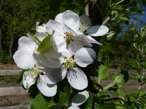 650-apple-blossoms