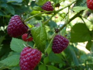 650-raspberries-late-summer-2010_0199