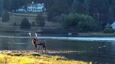 Bull Elk after swim