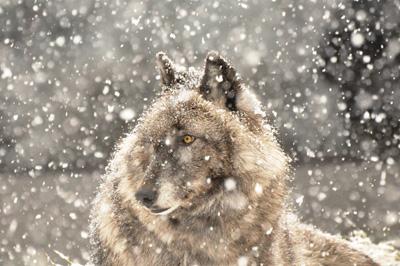 Luna in snow (International Wolf Center)