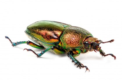 Female Golden Stag Beetle
