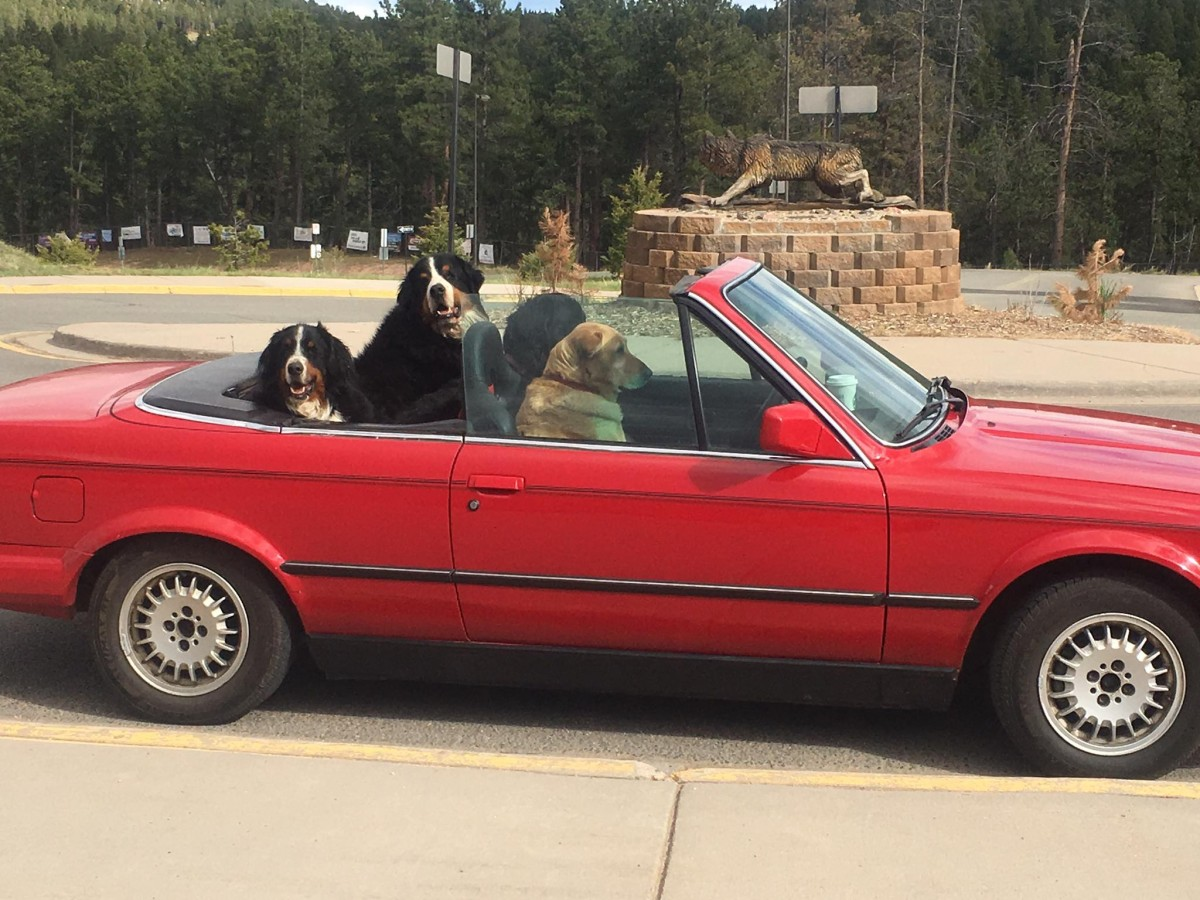 conifer convertible dogs