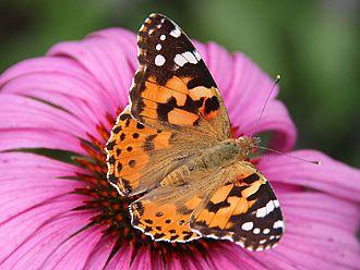 Belle-dame_(Vanessa_cardui)_-_Echinacea_purpurea_-_Havré_(3)