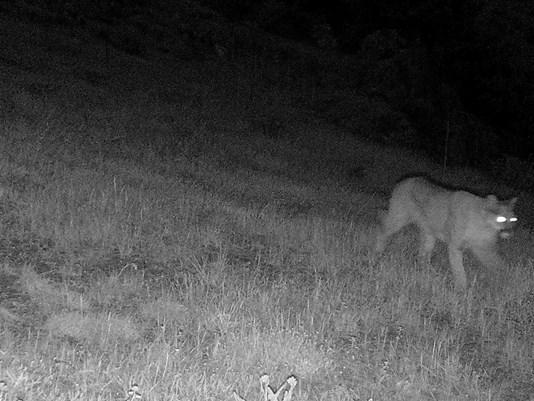 Mountain Lion, Feb 2 Jeffco sheriff photo