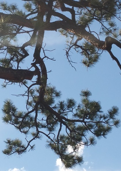 A pondersoa pine at Beth Evergreen