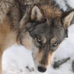 superior wolf