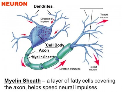 Myelin Sheath – a layer of fatty cells covering the axon, helps speed neural impulses.
